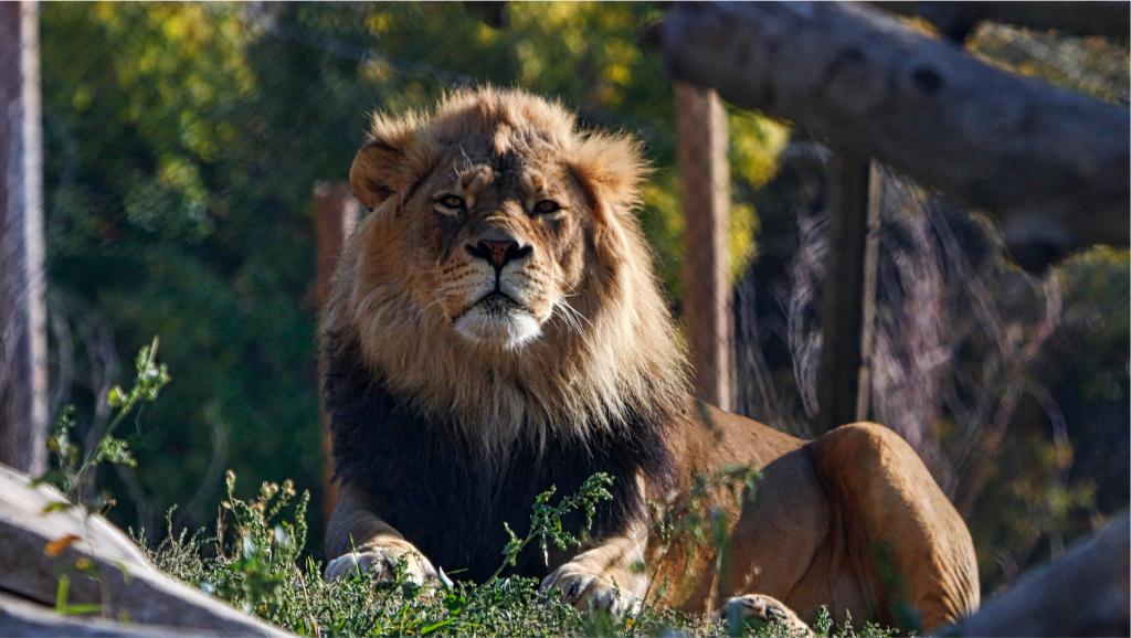Lion Hogle Zoo